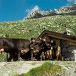 Alba in Malga con le mucche